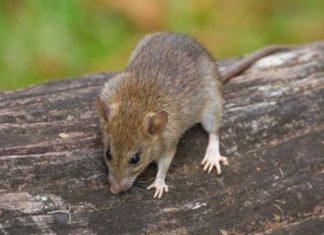 raton guia