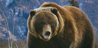 oso pardo amigos