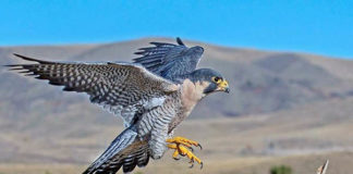dos halcones volar