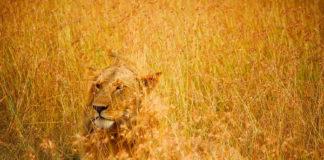 el asno con piel de leon