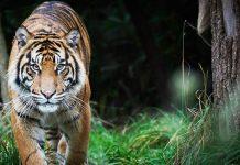 el tigre y el saltamonte fabula