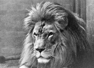 león codicioso